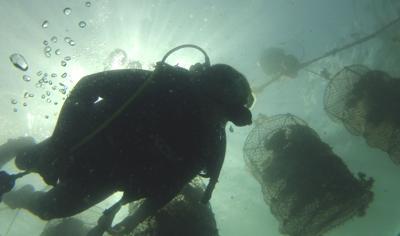 Cortez muslinger hænger i net