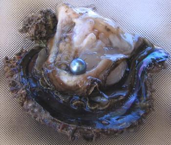 Cortez perle er fundet i en musling