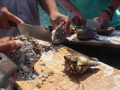 Muslingerne renses hver 2.-3. måned. Billeder fra Cortez farmen
