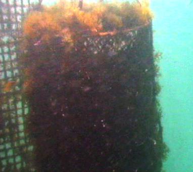 Alger og anemoner sætter sig på Cortez muslinger